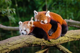 valentinstag_roterpanda_animal-1852823 © Unknown